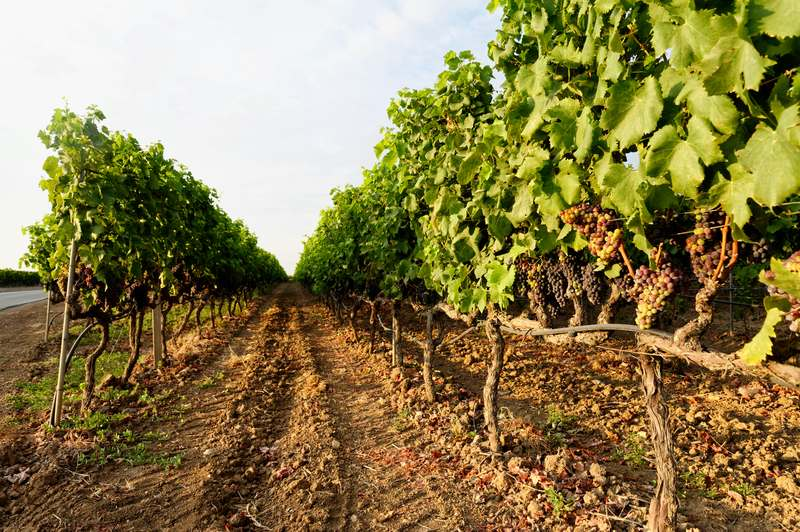 Negroamaro del Salento: storia e curiosità dell'iconico vino